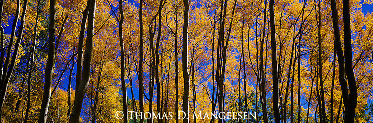 An Indian summer afternoon in early October leaves the fleeting memory of warmer days on a grove of aspens that will soon drop their leaves in Uncompahgre National Forest, Colorado.