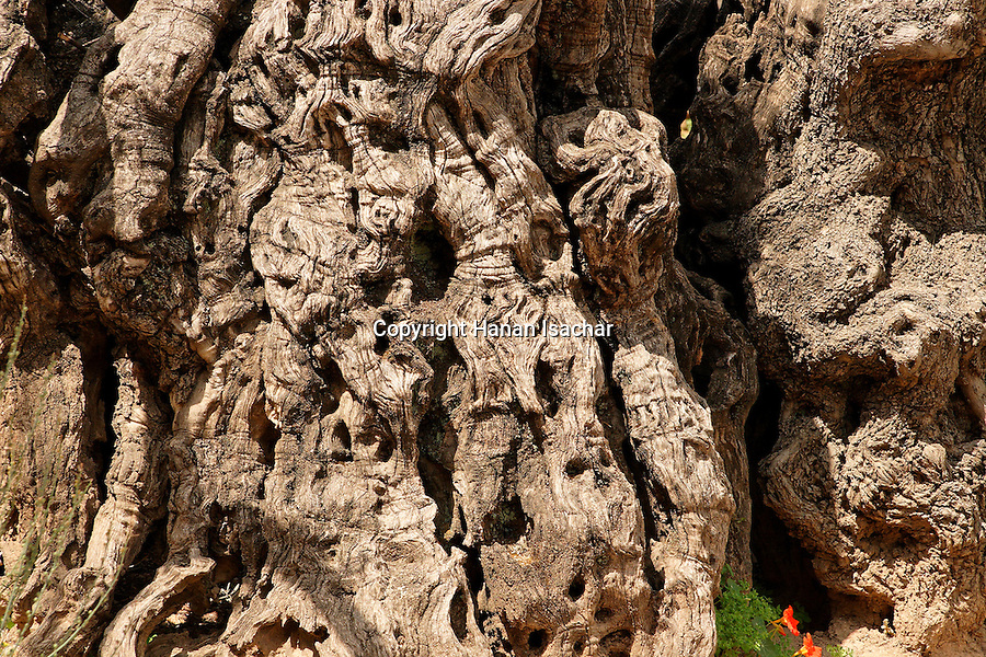 Israel, Jerusalem, An Ancient olive tree at the Garden of Gethsemane at the foot of the Mount of Olives<br />