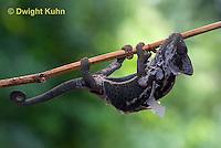 CH50-500z Female Veiled Chameleon molting old skin, Chamaeleo calyptratus