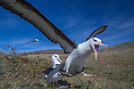 Falkland Islands, black-browed albatross (Thalassarche melanophris)