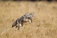Coyote (Canis latrans)mousing in Yellowstone National Park