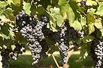 Crops: Vineyard