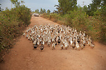 Geese On Road