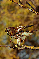 542103058v a wild adult ret-tailed hawk buteo jamaicensis prepares to take flight from its perch on a large tree limb surrounded by fall color at bosque del apache national wildlife refuge in new mexico
