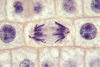 Onion root tip mitosis, anaphase (Allium cepa). LM
