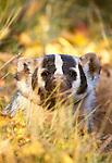 Badger, Grand Teton National Park, Montana