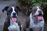 Two pit bull terriers panting looking at camera in backyard Lynnwood Washington State USA