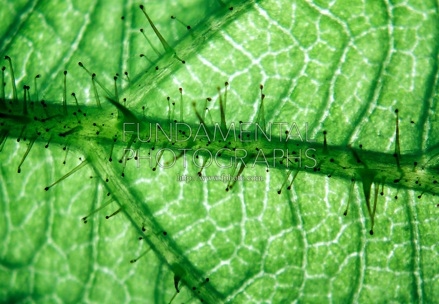 WINEBERRY PLANT<br /> Close Up of Leaf<br /> Micrograph taken with a standard dissecting microscope at about 10 X magnification. The sticky hairs of the wineberry produce a sap which aids in protection. Classified as an invasive species in North America, this plant was imported from Asia in 1890.