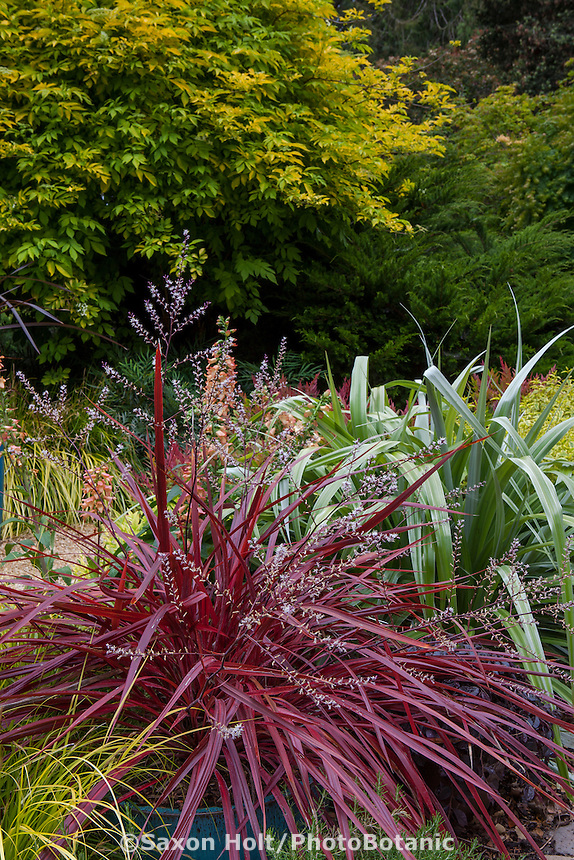 Cordyline 'Design-A-Line', red foliage perennial flowering in blue pot within garden border with Astelia 'Silver Shadow'; Sunset Plants