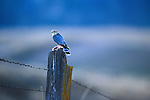 A Merlin with its prey sitting on a fence post in Montana