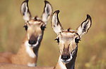 WILDLIFE / Pronghorn Antelope Photography