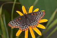 Baltimore Checkerspot (Euphydryas phaeton) female, McGregor, Minnesota, USA Nymphalidae