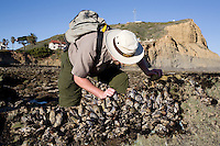 National Park Service biologist studying California Mussel bed (Mytilus californianus), Cabrillo National Monument, Point Loma, San Diego, California, USA