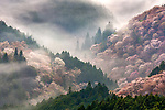 Misty cherry blossom covered hillsides, Japan