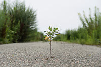 A plant growing through the tarmac of an a road in Namie, Fukushima Prefecture, Japan, August 2, 2013. The town of Namie was evacuated following the nuclear accident of March 2011. Residents can only return for short periods to tend to their former homes and pick up belongings, and are not permitted to stay overnight.