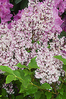 Syringa pubescens subsp. patula 'Miss Kim' shrub lilac in spring bloom