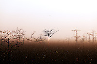 A bird flies over a grove of dwarf cypress trees on a foggy morning in Everglades National Park, Florida.