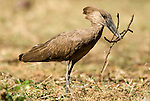 Hammerkop, Scopus umbretta, with twigs in beak, Lake Awasa, Ethiopia, nest building, Africa