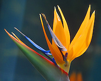 A  Strelitzia Reginae (aka Bird of Paradise)  blooms at Santa Monica College on Saturday, March 15, 2008. Bird of paradise is a tropical-looking plant with paddle-shaped leaves and exotic flowers that resemble a bird's beak.