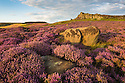 Over Owler Tor surrounded by ling heather {Calluna vulgaris} in full bloom. Peak District National Park, Derbyshire, UK. August.