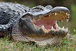 American Alligator, Alligator mississippiensis,adult resting on bank with mouth open, teeth, Everglades National Park, predator.USA....