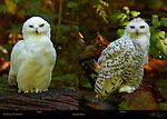 Snowy Owls, Male and Female, Arctic Owl, Great White Owl, Mount Ranier, Washington