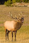 A large bull elk bugles in Yellowstone National Park Wyoming, USA, September 30, 2007.  The vocalization, known as a bugle, is thought to serve as both a challenge to other bulls, and a dominance assertion over the cows in his harem.  Photo by Gus Curtis.