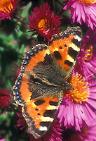 Butterfly Small Tortoiseshell Aglais urticae on Aster novi-belgii &lsquo;Purple Dome NY Aster flowers, garden insect UK England