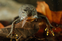 Alpine Newt (Triturus alpestris) female eating an Earthworm.