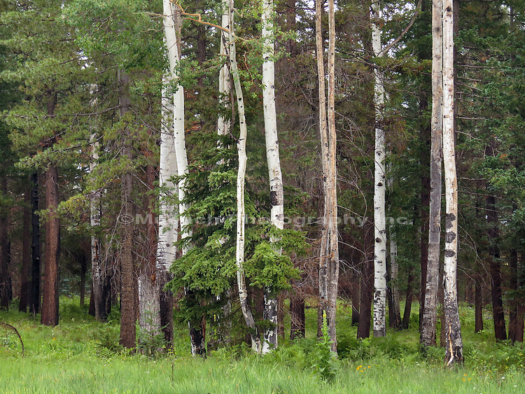 Regrowth of forest after fire in the White Mountains Arizona