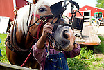 ..Harnessing a Belgian Draft Horse to pull a wagon on a southern Wisconsin Farm.