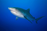 Tiger Shark, Galeocerdo cuvier, West End, Grand Bahama, Bahamas, Atlantic Ocean