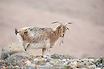 Domestic Goat, on hillside, Los Molinos area, Fuerteventura, Canary Islands, Spain