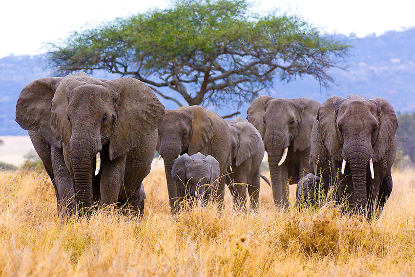 A herd of African Elephants on the move, Serengeti National Park, Tanzania