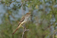 530060003 a wild ash-throated flycatcher myiarchus cinerascens perches on a branch in the madera grasslands green valley arizona