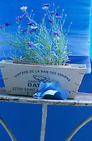 Cornflowers are planted in an old French oyster box with a deep blue painted wall behind