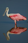 Roseate Spoonbill (Ajaia ajaja)..Everglades National Park, Eco Pond..Florida, USA.
