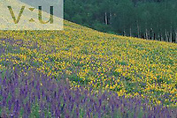 Subalpine Larkspur ,Delphinium barbeyi, and sunflowers ,Helianthella quinquenervis, Gunnison National Forest, Colorado