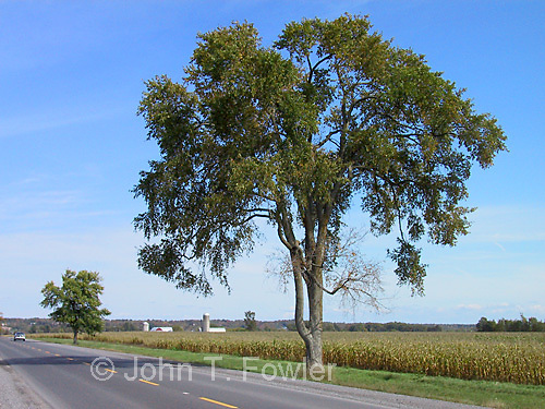 American elm tree&amp;#xA;<br />