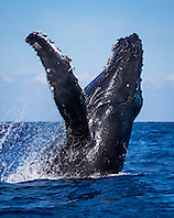 humpback whale, Megaptera novaeangliae, breaching, Haleakala of Maui in background, Hawaii, USA, Pacific Ocean