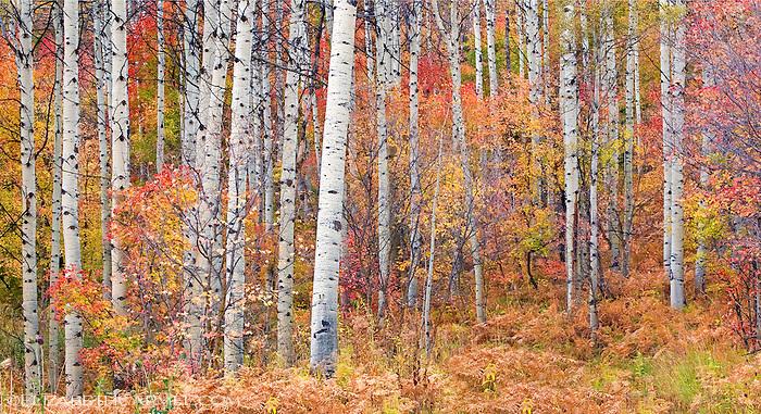Autumn Forest, Utah