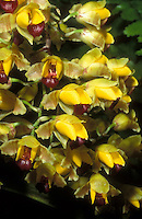 Baptistonia echinata Orchid Species, resembles bumblebees showing orchid mimickry to attract pollinators