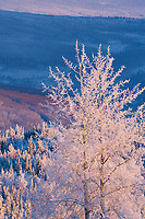 Frost covered balsam poplar tree, winter, Fairbanks, Alaska