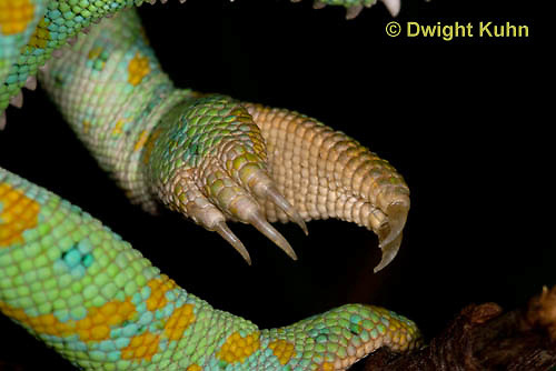 CH41-501z   Veiled Chameleon, close-up of grasping foot and sharp claws, Chamaeleo calyptratus