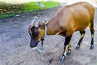 "North Sulawesi, Bitung. Sapiutan, ""cow from the forest"", unique to Sulawesi. Zoo in Bitung."