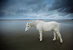 Camargue horse on beach, Ile de la Camargue, France