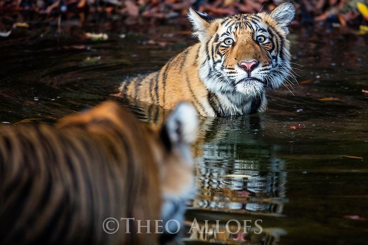 India, Rajasthan, Ranthambhore National Park, Bengal tigress approaching cub in waterhole