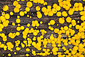 Lemon Disco fungus {Bisporella citrina} on rotting deciduous wood. Peak District National Park, Derbyshire, UK. October.