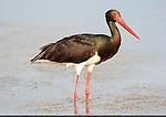 Black Stork, Ciconia nigra, Lesvos Island, Kalloni Salt Pans, Greece, wading in water, fishing, summer visitor , lesbos