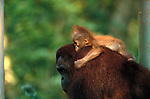 Bornean orangutan and baby, Indonesia